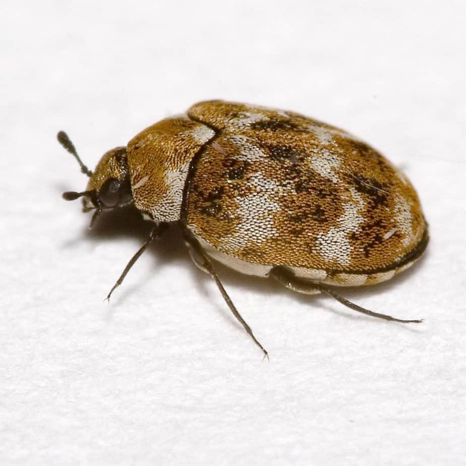 Bestrijding van Tapijtkevers